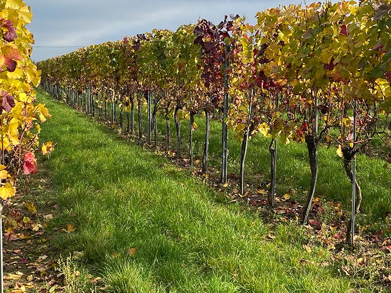 Herbst im Weingarten