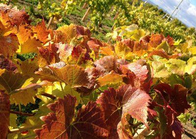 Herbstweinlaub